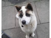 Male 2 and a half year old American Akita.