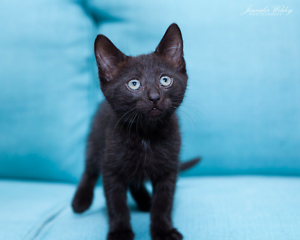 Boudica rescue KITTEN to adopt VET WORK INC Craigie Joondalup Area Preview
