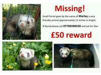 Missing Ferret Cramlington