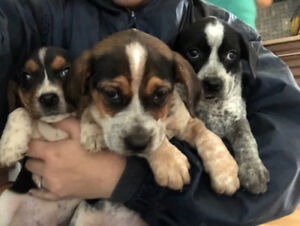 Beagle/Pointer puppies for sale!!