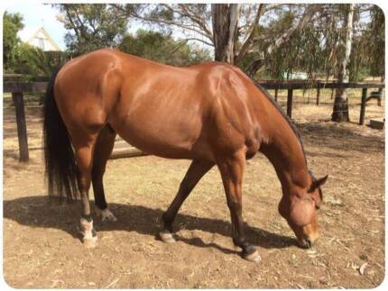 Doc - 16.2 hands, 10 y.o. Bay Gelding Thoroughbred. Geelong 3220 Geelong City Preview