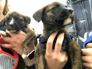Missing puppy ! the smaller one was found an home safe