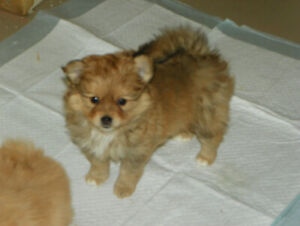 Female Pomeranian Puppy- Ready to go - Can Meet/Deliver