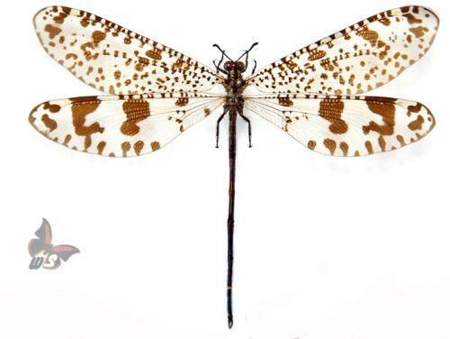 Palpares sp.-MALE-GIANT!! ,UNMOUNTED