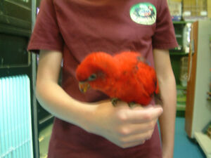 Hand fed Red Lory