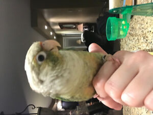 SOLD PENDING PICK UP Young Conure For Rehoming
