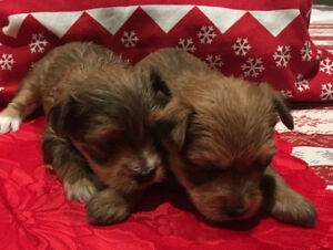 Yorkie X  pups are here