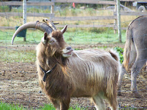 3 1/2 Year Old Toggenburg Buck Ready to Breed