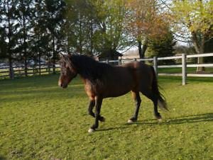 Morgan Bay Stallion offering for Breeding (stud)