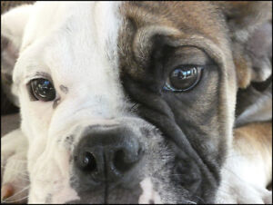 Bulldog pups for sale, males and females