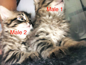Vaccinated hypoallergenic Siberian male kittens with vet papers