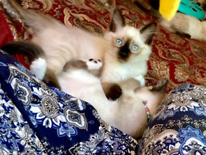 Gorgeous Ragdoll kitten