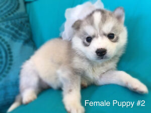 Beautiful Family Loved PureBred Siberian Husky Puppy