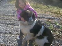 2 year old Newfie/ackbash mix for sale