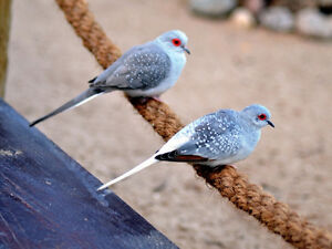 Diamond Doves Smallest in World