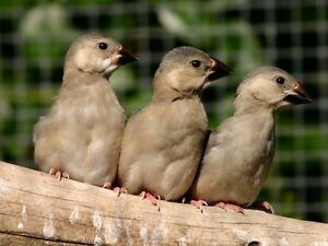 Two Baby Java Rice Finches