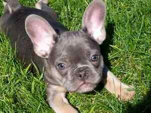 Amazing French Bulldog Puppies CKC registered