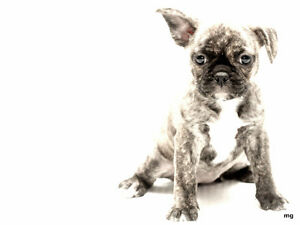 ADORABLE FRENCH BULLDOG/BUG PUPPIES! READY TO GO! MUST SEE!!
