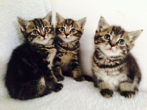 ❤️X Maine Coon marble tabby males/females tiny and cute 7 weeks