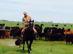 Horse traing with cattle experiance