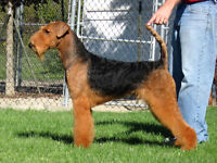 Airedale Terrier Puppies - Purebred
