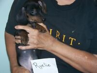 smooth coated dachshund puppies