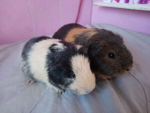Mother and Daughter Guinea Pigs