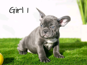 French Bulldog Kijiji In British Columbia Buy Sell Save With
