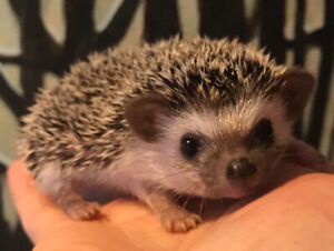 Adorable and seeet baby Pygmy Hedgehogs! Ready to go!