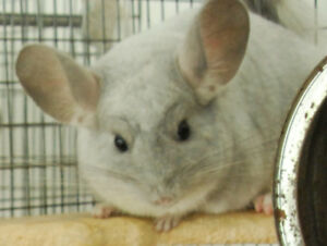 CHINCHILLA AVAILABLE