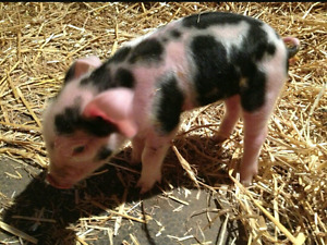 Looking for piglets