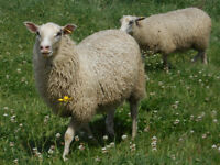 Gotland ewe lambs (sheep)
