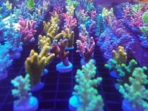 salt water corals and coral frags healthy colorful