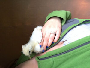 Two Pure Silkie Chicks!
