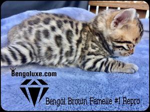 Fabuleux Bengal Silver&Brown enregistrés TICA pour Reproduction