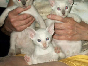 PUREBRED REGISTERED CLASSIC SIAMESE KITTENS - ASSORTED COLOURS