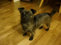2 Year Old Shih Tzu - Chihuahua Free for a Good Home