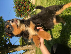 Bernese puppies - **5 Puppies Left**All Males