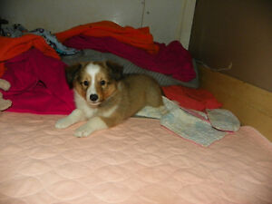 Male Sable Sheltie puppies - can meet/deliver - Only 1 left!!!