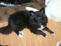 Eskimo Border collie  cross pups all sizes ,ages and colours