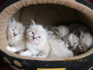 Lynx Point Ragdoll kittens IN EDMONTON