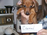 Purebred Dachshund puppies - smooth coats