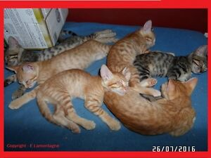 *** SUPERBES chatons Bengals x Siamois ***
