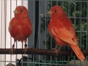 intensive red factor canaries