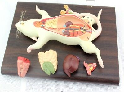 Mouse Anatomy Model Visceral Muscle Nerve Veterinary Study Animal (Mouse Anatomy)
