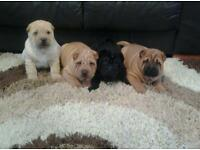 Beautiful Shar Pei puppy's
