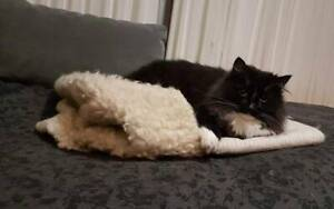 BONNIE & BEANZY (IF014-17 & IF015-17) - rescue cat - *Vet Work Incl.* Brentwood Melville Area Preview