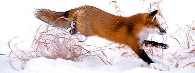 The Modest Fox