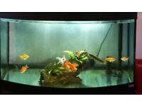 Gold fish for sale urgently