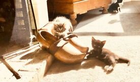 Part Maine Coon adorable kittens ❤️